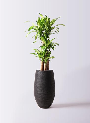 観葉植物 ドラセナ 幸福の木 8号 ノーマル フォンティーヌトール 黒 付き