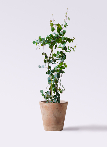 観葉植物 ユーカリ 8号 ポリアンセモス ルーガ アンティコ ソリッド 付き