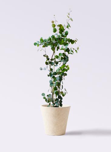 観葉植物 ユーカリ 8号 ポリアンセモス フォリオソリッド クリーム 付き