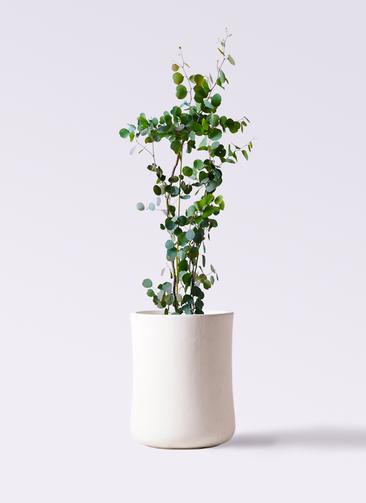 観葉植物 ユーカリ 8号 ポリアンセモス バスク ミドル ホワイト 付き