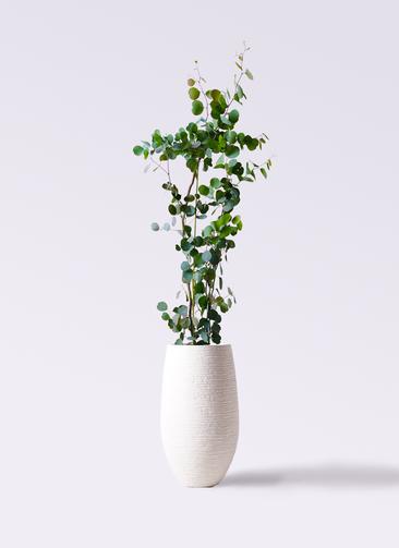 観葉植物 ユーカリ 8号 ポリアンセモス フォンティーヌトール 白 付き