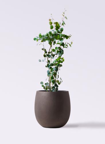 観葉植物 ユーカリ 8号 ポリアンセモス テラニアス バルーン アンティークブラウン 付き
