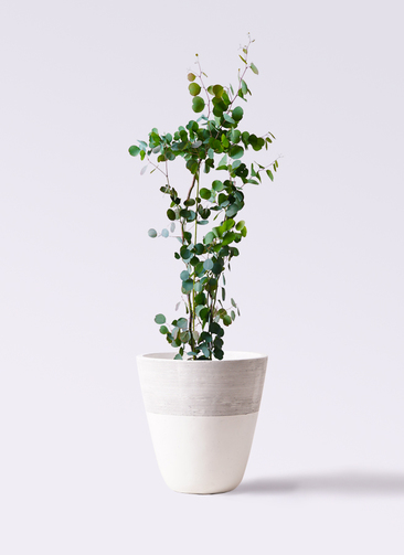 観葉植物 ユーカリ 8号 ポリアンセモス ジュピター 白 付き
