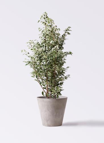 観葉植物 フィカス ベンジャミン 10号 スターライト アートストーン ラウンド グレー 付き