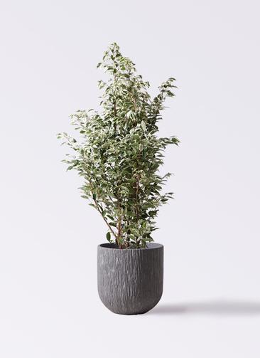 観葉植物 フィカス ベンジャミン 10号 スターライト カルディナダークグレイ 付き