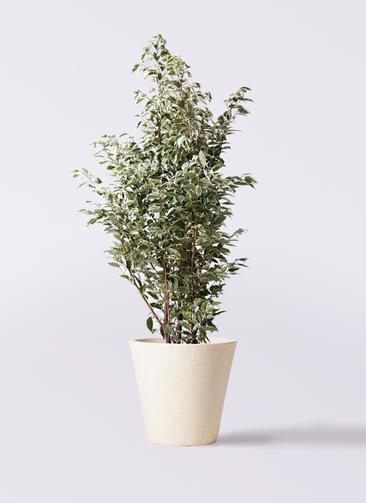 観葉植物 フィカス ベンジャミン 10号 スターライト フォリオソリッド クリーム 付き