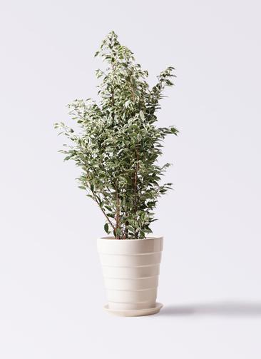 観葉植物 フィカス ベンジャミン 10号 スターライト サバトリア 白 付き