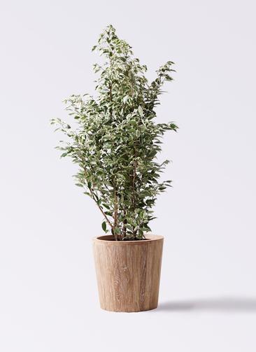 観葉植物 フィカス ベンジャミン 10号 スターライト ウッドプランター 付き