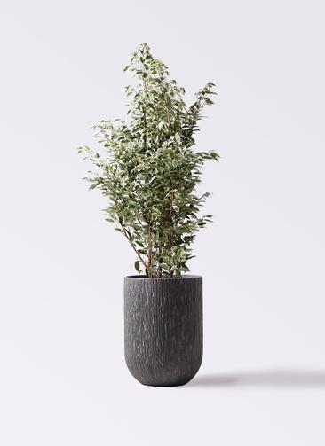 観葉植物 フィカス ベンジャミン 10号 スターライト カルディナトールダークグレイ 付き