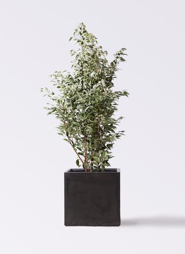 観葉植物 フィカス ベンジャミン 10号 スターライト ファイバークレイ キューブ 付き