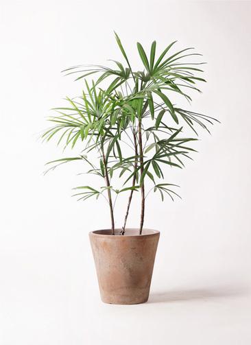 観葉植物 シュロチク(棕櫚竹) 8号 ルーガ アンティコ ソリッド 付き