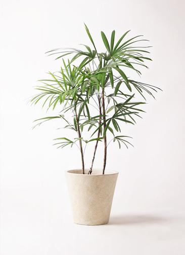 観葉植物 シュロチク(棕櫚竹) 8号 フォリオソリッド クリーム 付き
