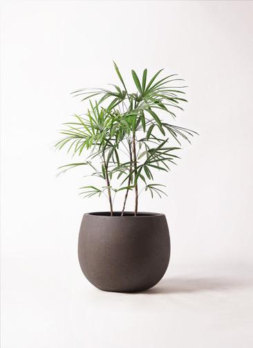 観葉植物 シュロチク(棕櫚竹) 8号 テラニアス ローバルーン アンティークブラウン 付き