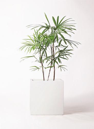 観葉植物 シュロチク(棕櫚竹) 8号 バスク キューブ 付き