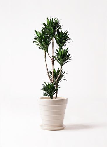 観葉植物 ドラセナ コンパクター 8号 サバトリア 白 付き
