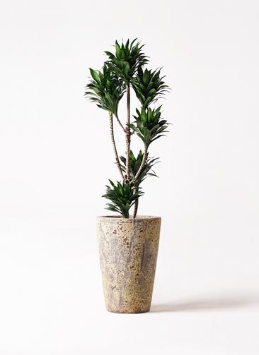 観葉植物 ドラセナ コンパクター 8号 アトランティス クルーシブル 付き