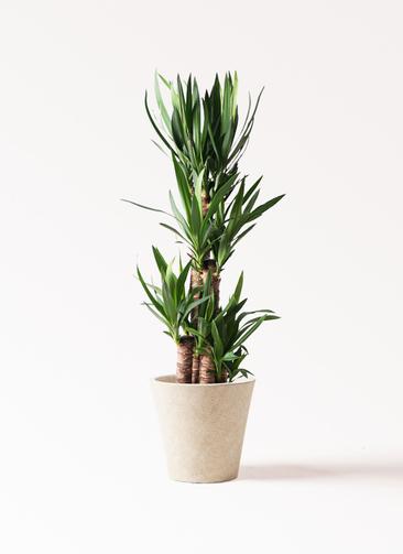 観葉植物 ユッカ 8号 ノーマル フォリオソリッド クリーム 付き