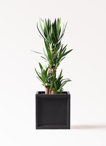 観葉植物 ユッカ 8号 ノーマル ブリティッシュキューブ 付き