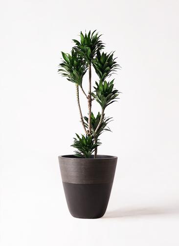 観葉植物 ドラセナ コンパクター 8号 ジュピター 黒 付き