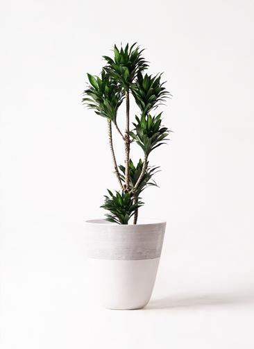 観葉植物 ドラセナ コンパクター 8号 ジュピター 白 付き