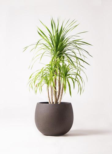 観葉植物 ドラセナ カンボジアーナ 8号 テラニアス ローバルーン アンティークブラウン 付き