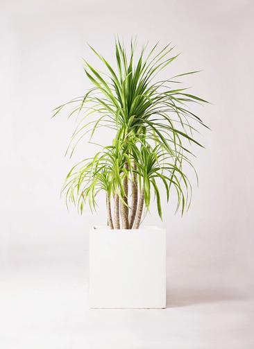 観葉植物 ドラセナ カンボジアーナ 8号 バスク キューブ 付き
