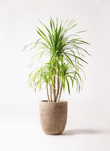 観葉植物 ドラセナ カンボジアーナ 8号 ルーガ アンティコ アルトエッグ 付き