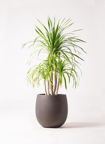 観葉植物 ドラセナ カンボジアーナ 8号 テラニアス バルーン アンティークブラウン 付き