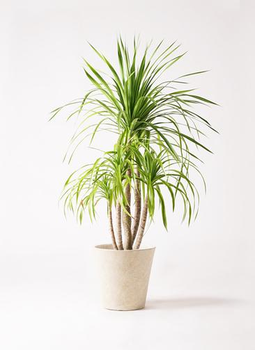 観葉植物 ドラセナ カンボジアーナ 8号 フォリオソリッド クリーム 付き