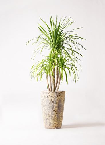 観葉植物 ドラセナ カンボジアーナ 8号 アトランティス クルーシブル 付き