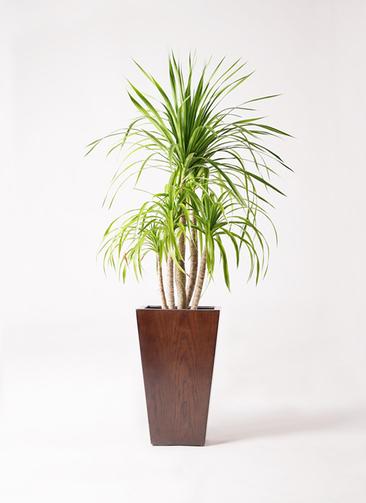 観葉植物 ドラセナ カンボジアーナ 8号 MOKU スクエア 付き