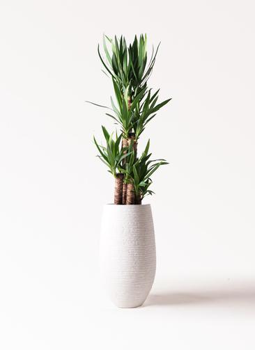 観葉植物 ユッカ 8号 ノーマル フォンティーヌトール 白 付き
