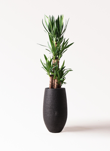 観葉植物 ユッカ 8号 ノーマル フォンティーヌトール 黒 付き