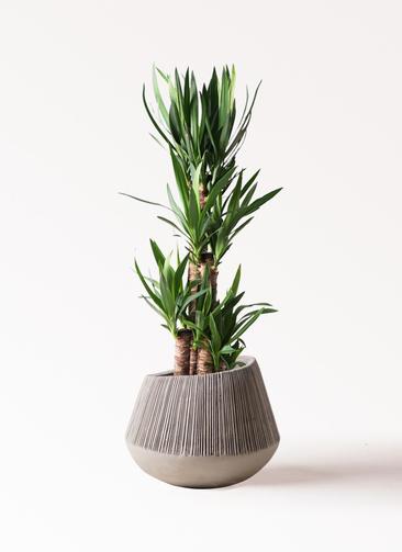 観葉植物 ユッカ 8号 ノーマル エディラウンド グレイ 付き