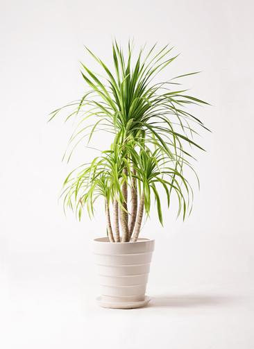 観葉植物 ドラセナ カンボジアーナ 8号 サバトリア 白 付き