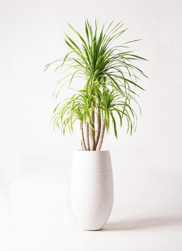 観葉植物 ドラセナ カンボジアーナ 8号 フォンティーヌトール 白 付き