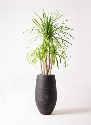 観葉植物 ドラセナ カンボジアーナ 8号 フォンティーヌトール 黒 付き