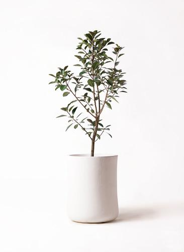 観葉植物 フランスゴムの木 8号 ノーマル バスク ミドル ホワイト 付き