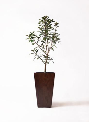 観葉植物 フランスゴムの木 8号 ノーマル MOKU スクエア 付き