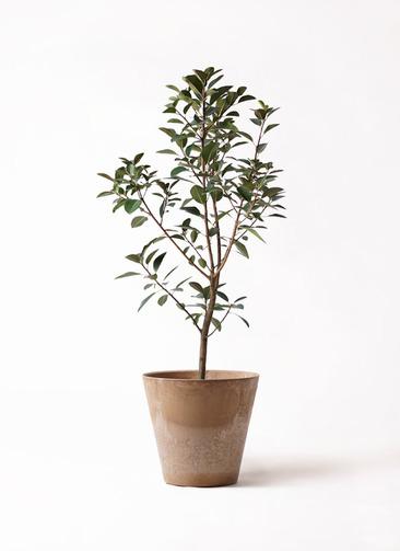観葉植物 フランスゴムの木 8号 ノーマル アートストーン ラウンド ベージュ 付き