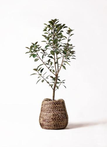 観葉植物 フランスゴムの木 8号 ノーマル リゲル 茶 付き