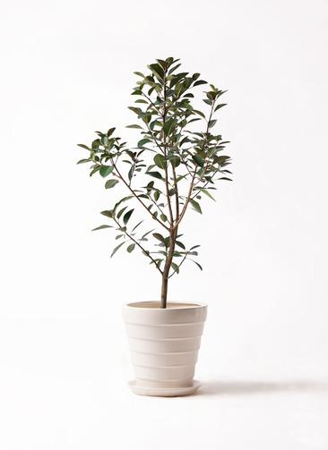 観葉植物 フランスゴムの木 8号 ノーマル サバトリア 白 付き
