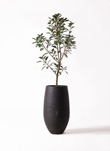 観葉植物 フランスゴムの木 8号 ノーマル フォンティーヌトール 黒 付き