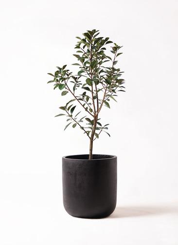 観葉植物 フランスゴムの木 8号 ノーマル エルバ 黒 付き