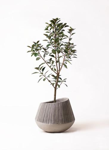 観葉植物 フランスゴムの木 8号 ノーマル エディラウンド グレイ 付き