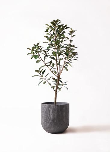 観葉植物 フランスゴムの木 8号 ノーマル カルディナダークグレイ 付き