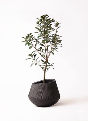 観葉植物 フランスゴムの木 8号 ノーマル エディラウンド 黒 付き