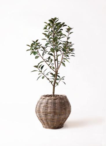 観葉植物 フランスゴムの木 8号 ノーマル グレイラタン 付き