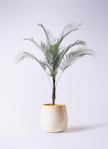 観葉植物 ヒメココス 8号 ササール 白 付き