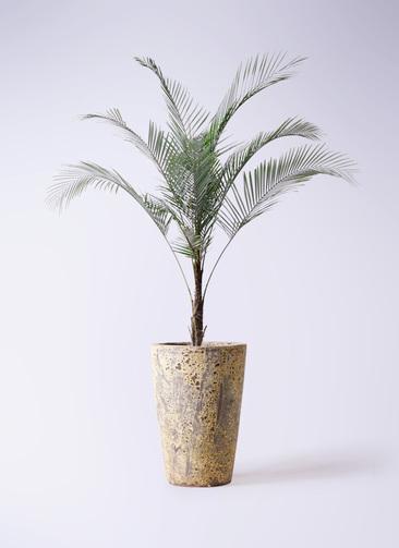 観葉植物 ヒメココス 8号 アトランティス クルーシブル 付き